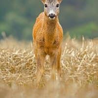 Roe Deer, Capreolus capreolus, buck with big antlers