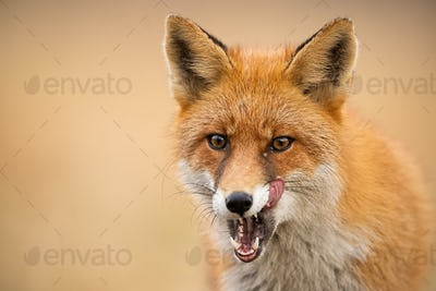 Head of a red fox, vulpes vulpes, looking straight to the camera licking lips