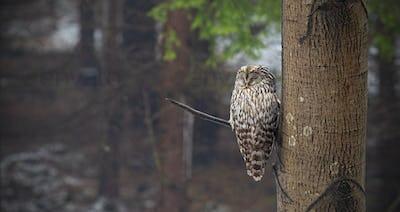 Ural owl, Strix uralensis, sleeping in a forest hidden by a tree