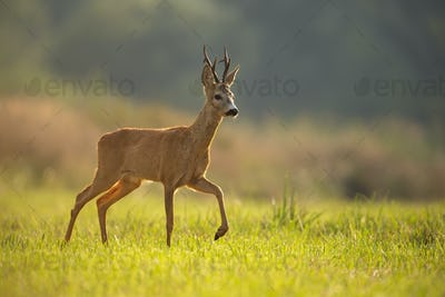 Roe deer buck in summer with blurred background and space for copy