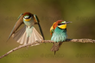 Pair of european bee-eaters, merops apiaster in summer