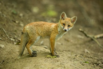 Red fox, vulpes vulpes, cub in the forest near the burrow