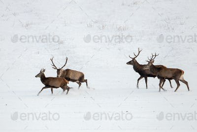 Herd of red deer, cervus elaphus, stags in winter on snow