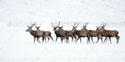 Herd of red deer, cervus elaphus, stags in winter on snow