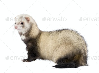 Side view of ferret standing in front of white background, studio shot