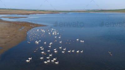 white swans on lake
