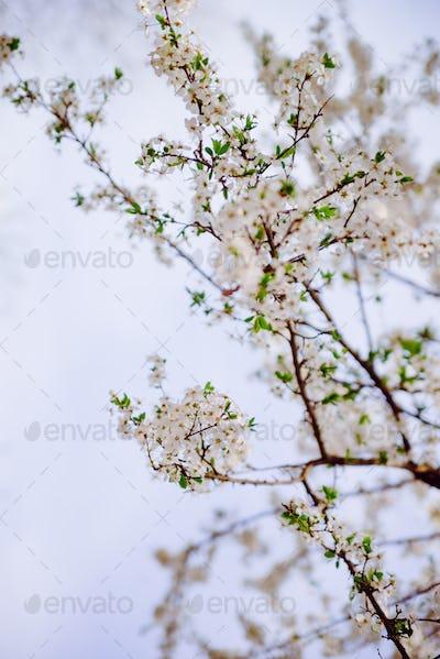 White tree blossoms