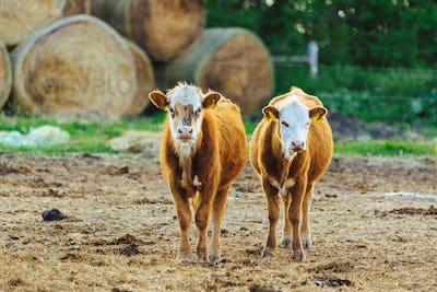 Calves in the farm