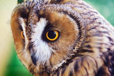 Owl portrait.