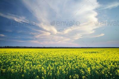 Meadow of rape