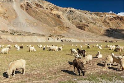 Herd of Pashmina sheep and goats in Himalayas. Himachal Pradesh