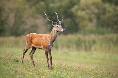 Young red deer stag in summer on a meadow with short green grass