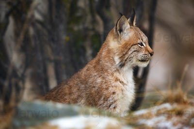 Portrait of eurasian lynx sitting in the forest at early winter