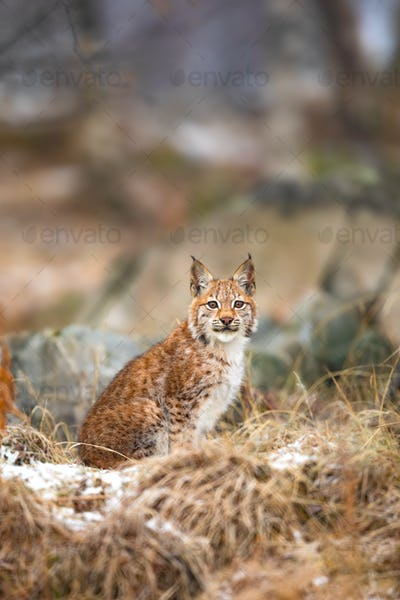 Beautiful eurasian lynx sits in the grass at winter