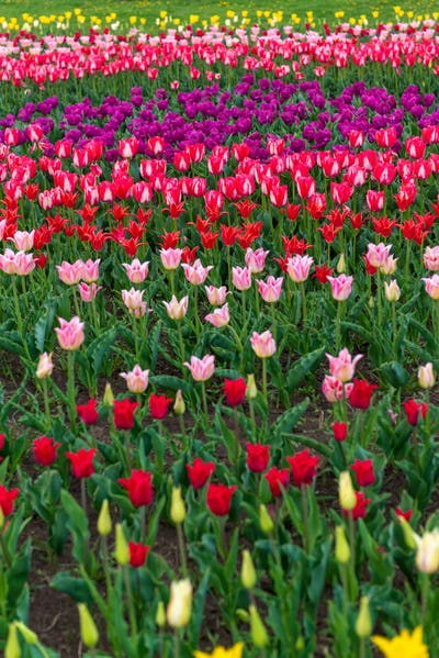 Spring fields of blooming tulip. Beauty outdoor scene