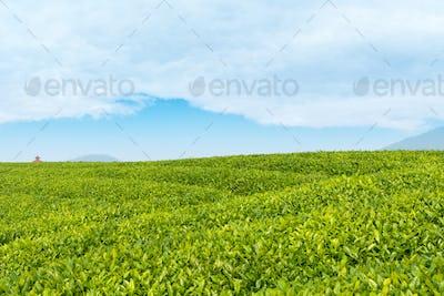 tea garden closeup