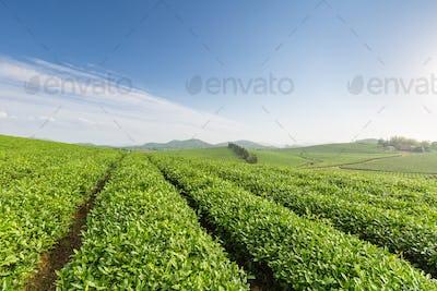 beautiful tea plantation in sunny morning