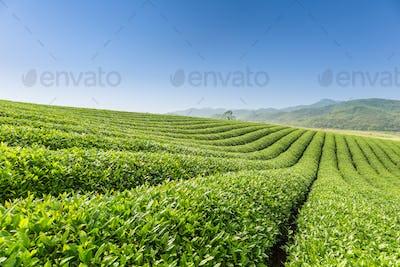 beautiful tea plantation scenery