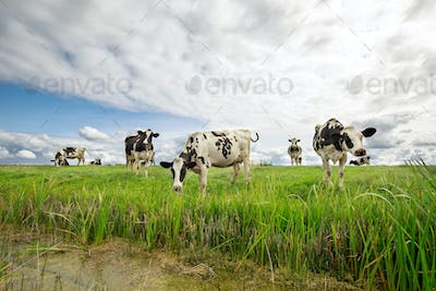 cows on green pasture over blue sky