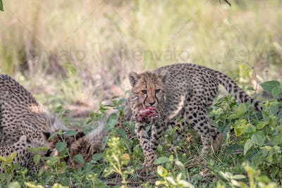 Cheetah cub feeding on an Impala kill.