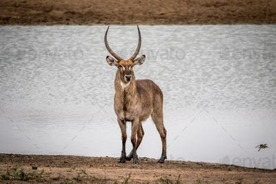 Male Waterbuck standing by the water.