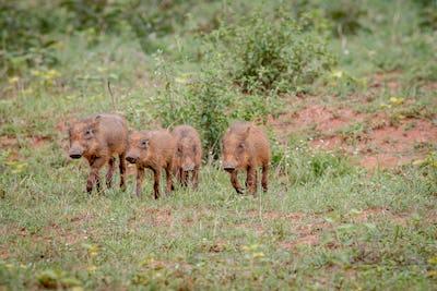 Warthog baby piglets running in the grass.