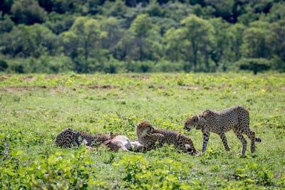 Cheetahs feeding on an Impala kill.