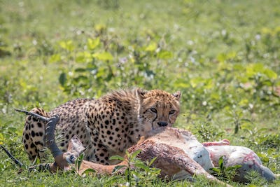Cheetah feeding on an Impala kill.