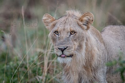 Close up of a young male Lion.