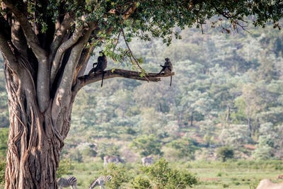 Chacma baboons sitting in a Fig tree.