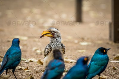 Yellow-billed hornbill with Glossy starlings.