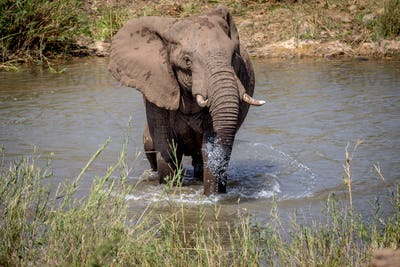 Big male Elephant standing in the water.