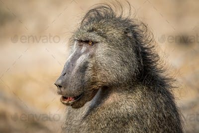 Side profile of a Chacma baboon.