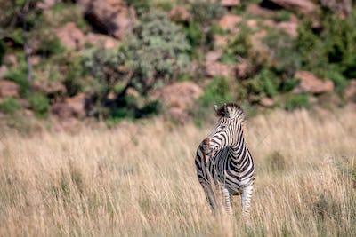 Zebra standing in the high grass.