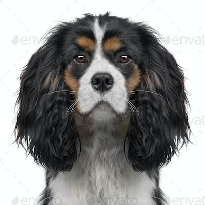 Cavalier King Charles puppy (10 months) (Digital enhancement)