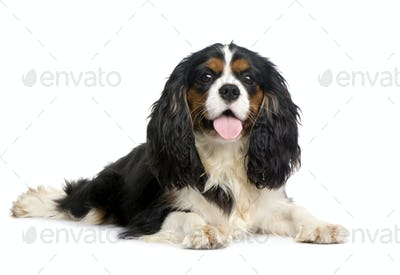 Cavalier King Charles (10 months)