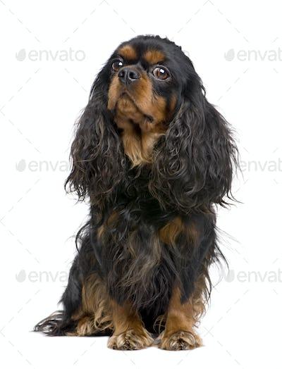 Cavalier King Charles (3 years)