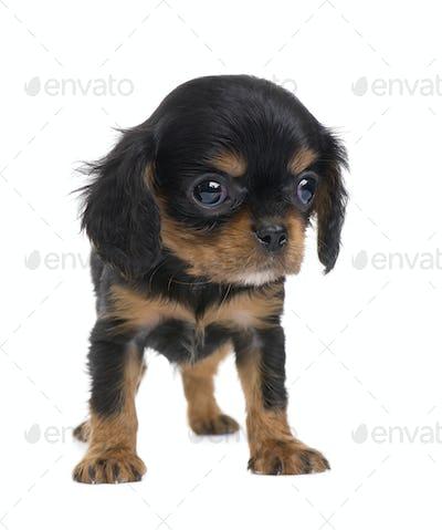 Cavalier King Charles puppy (7 weeks)