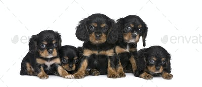 Cavalier King Charles puppy in a row (7 weeks)