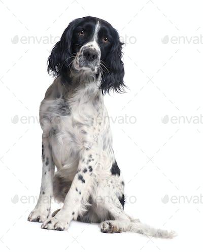 English Springer Spaniel (1 year)
