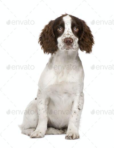 English Springer Spaniel puppy (4 months)