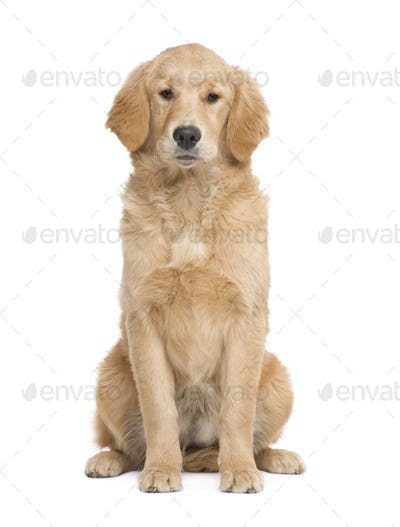 Golden Retriever puppy (5 months)