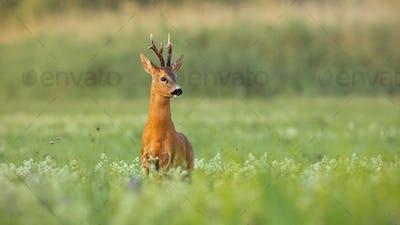 Roe deer buck with dark antlers on a meadow in summer with copy space