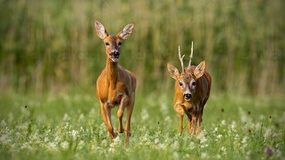 Roe deer, capreolus capreolus, buck and doe during rutting season