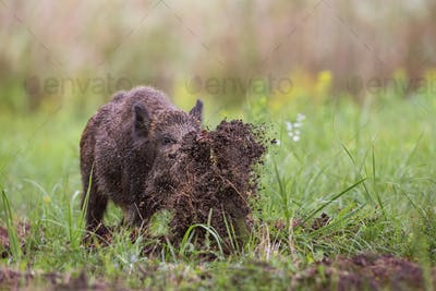 Wild boar, sus scrofa, digging on a meadow throwing mud around with its nose
