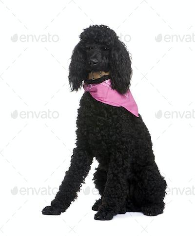 royal Poodle (1 year)