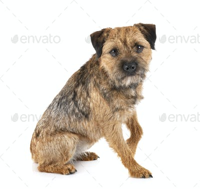 border terrier in studio