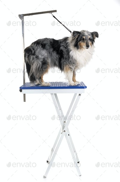 grooming table and little dog