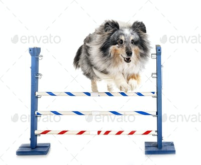 agility and little dog