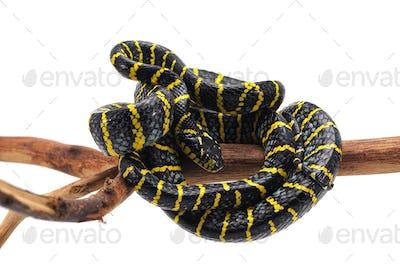 blue Mangrove Snake isolated on white background